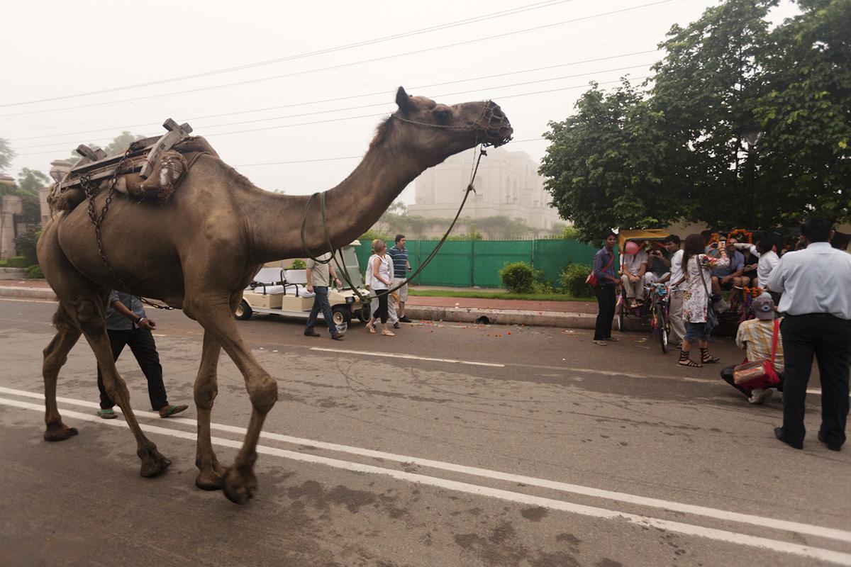 camello-en-agra