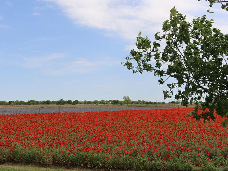Fredericksburg-Texas-flores-salvajes