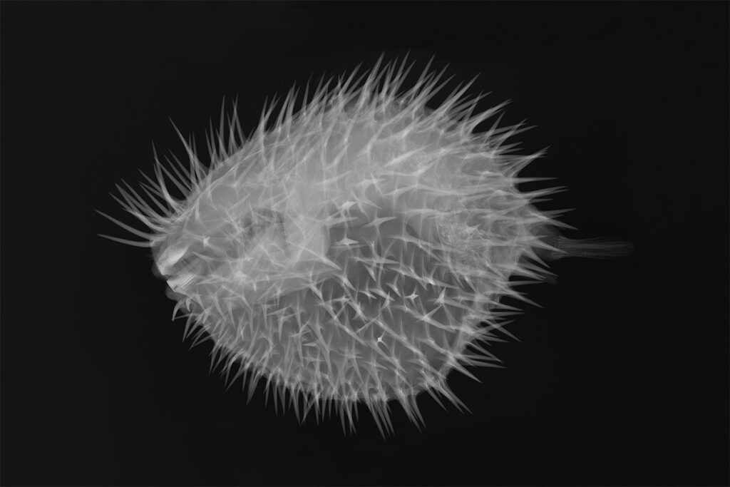 Xray-Frost-Science-Long-spine-Porcupine-Fish
